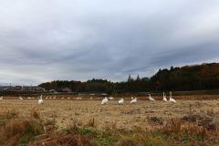 12/2 四倉仁井田地区に白鳥飛来